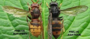 Identification des frelons